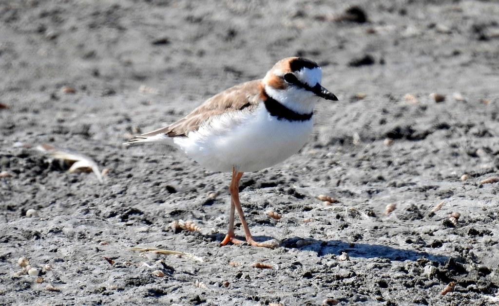 Collared Plover / Chorlo Acollarado (Charadrius collaris) en la Laguna Ñapique, Piura