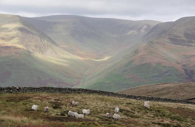 Hill Sheep.