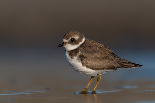 Semipalmated plover | by JEO126