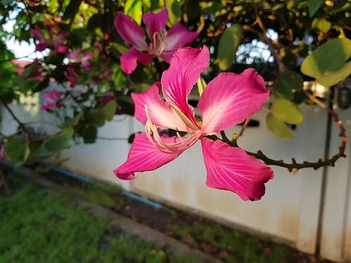 bauhinia caesalpinioideae fabaceae flowers pink plants saraburi thailand trees