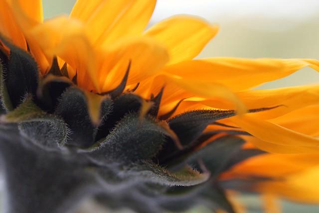 Macro Sunflower..