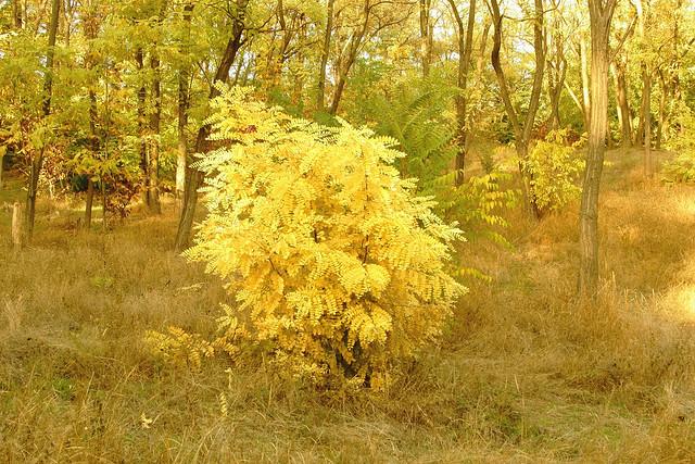 Акации осенний наряд / Autumn dress of acacia
