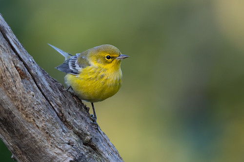 Pine Warbler | by Rob & Amy Lavoie
