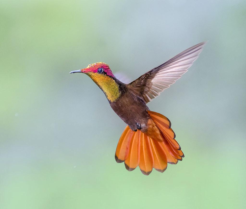 Rain drops on my head. Ruby Topaz Hummingbird in flight dancing in the air, Trinidad.