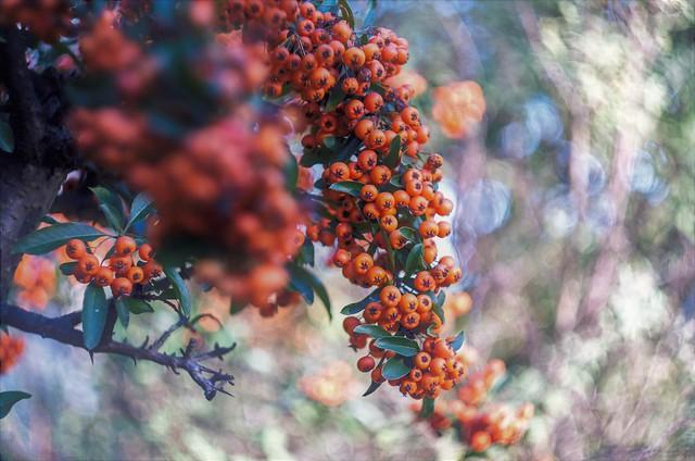 Orange Berries Helios 44-3 58 mm f/2 M42 --- pyrocantha thorns