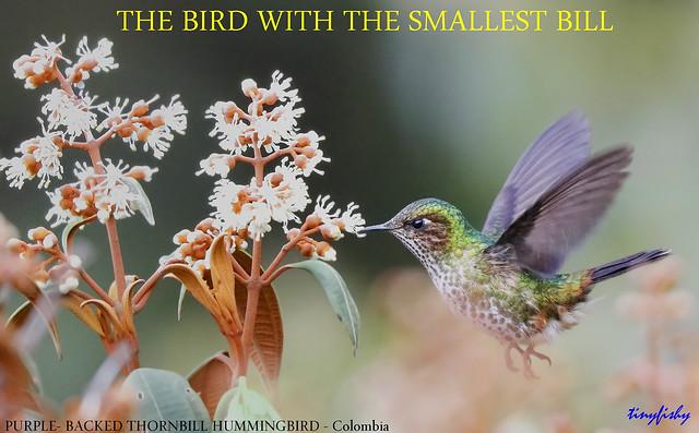 (Species #1944a) Purple-backed Thornbill Non-Breeding - [ Termales del Ruiz Hotel, Colombia ]