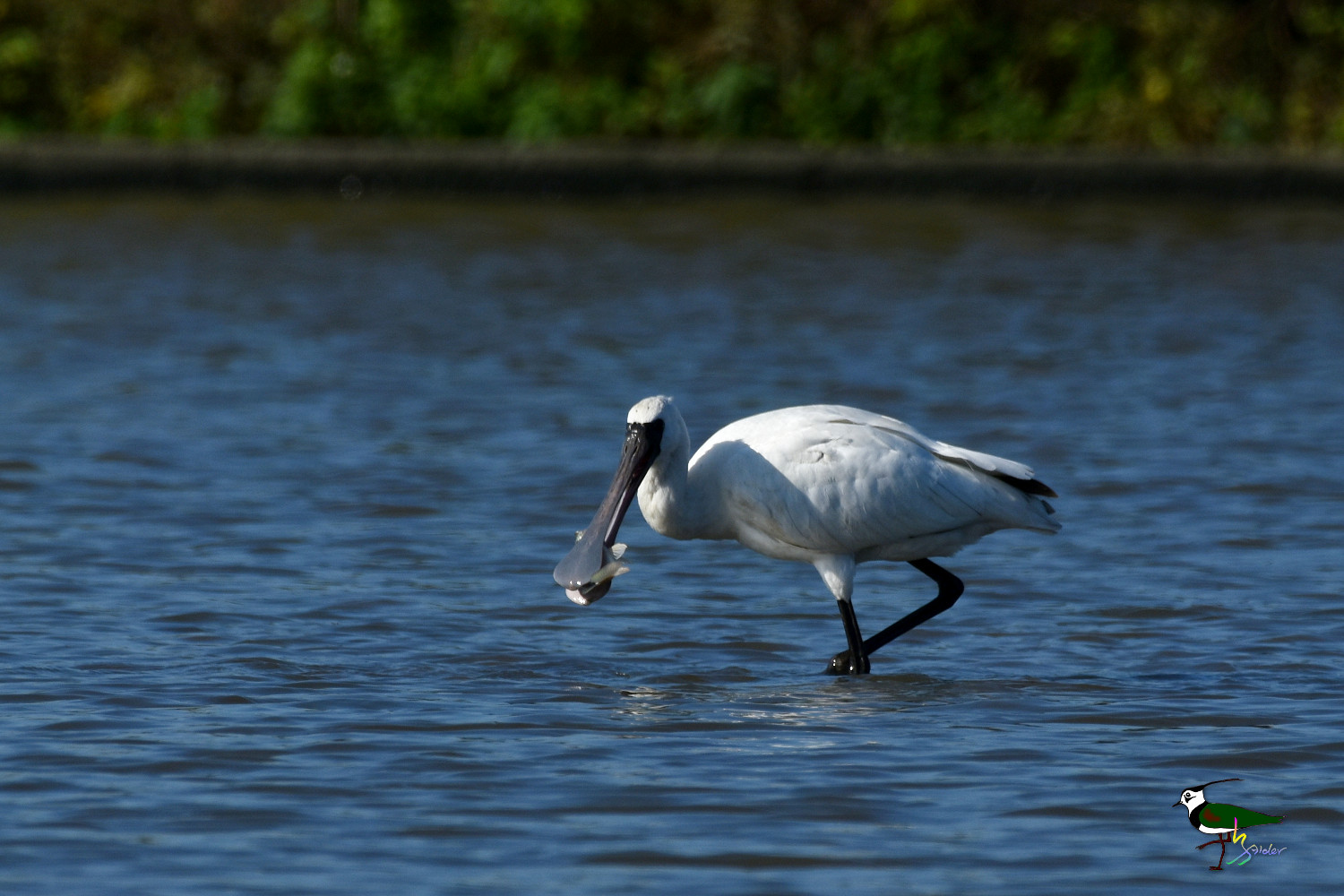 Black-faced_Spoonbill_9777