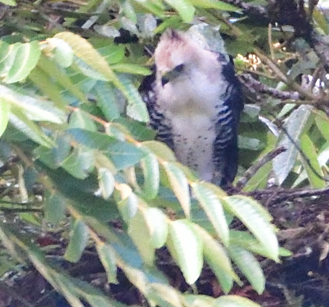 Ornate Hawk-Eagle - juvenile on nest