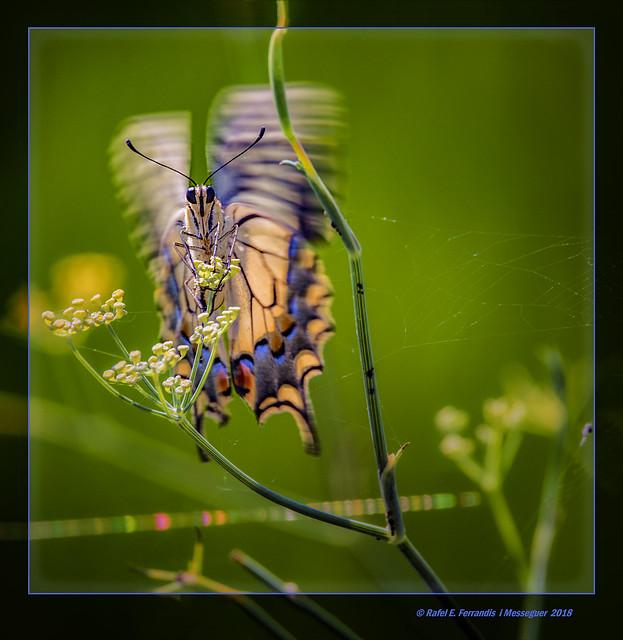 Papallona reina en fenoll 12 (Papilio machaon, Foeniculum vulgare) Swallowtail on Fennel (Marjal de Sollana, la Ribera Baixa, València, Spain)