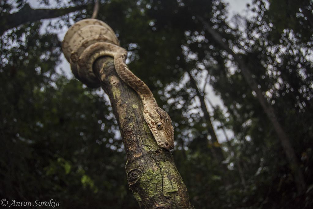 Tree Boa at Dusk