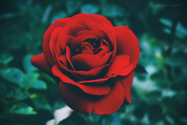 estoy celosa de esta rosa