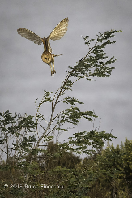 A Barn Owl Takes Flight