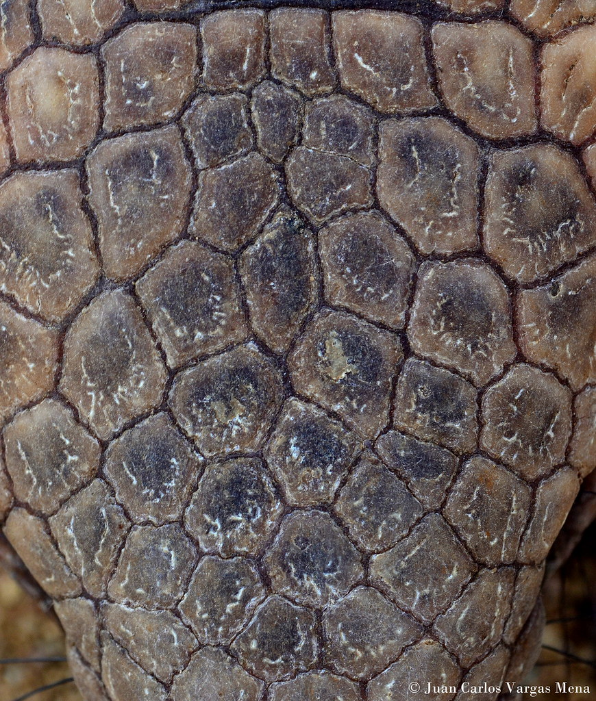 Detail of the head of a Six-banded Armadillo