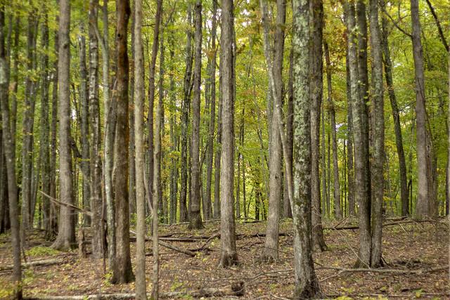 Deciduous Forest, Bridgestone Firestone WMA, White County, Tennessee