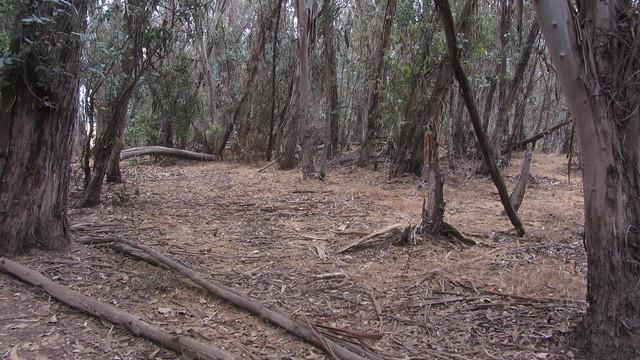 IMG_4840 Ellwood Sperling eucalyptus trees forest