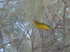 Wilson's Warbler, Havasu NWR, AZ 9/21/2018