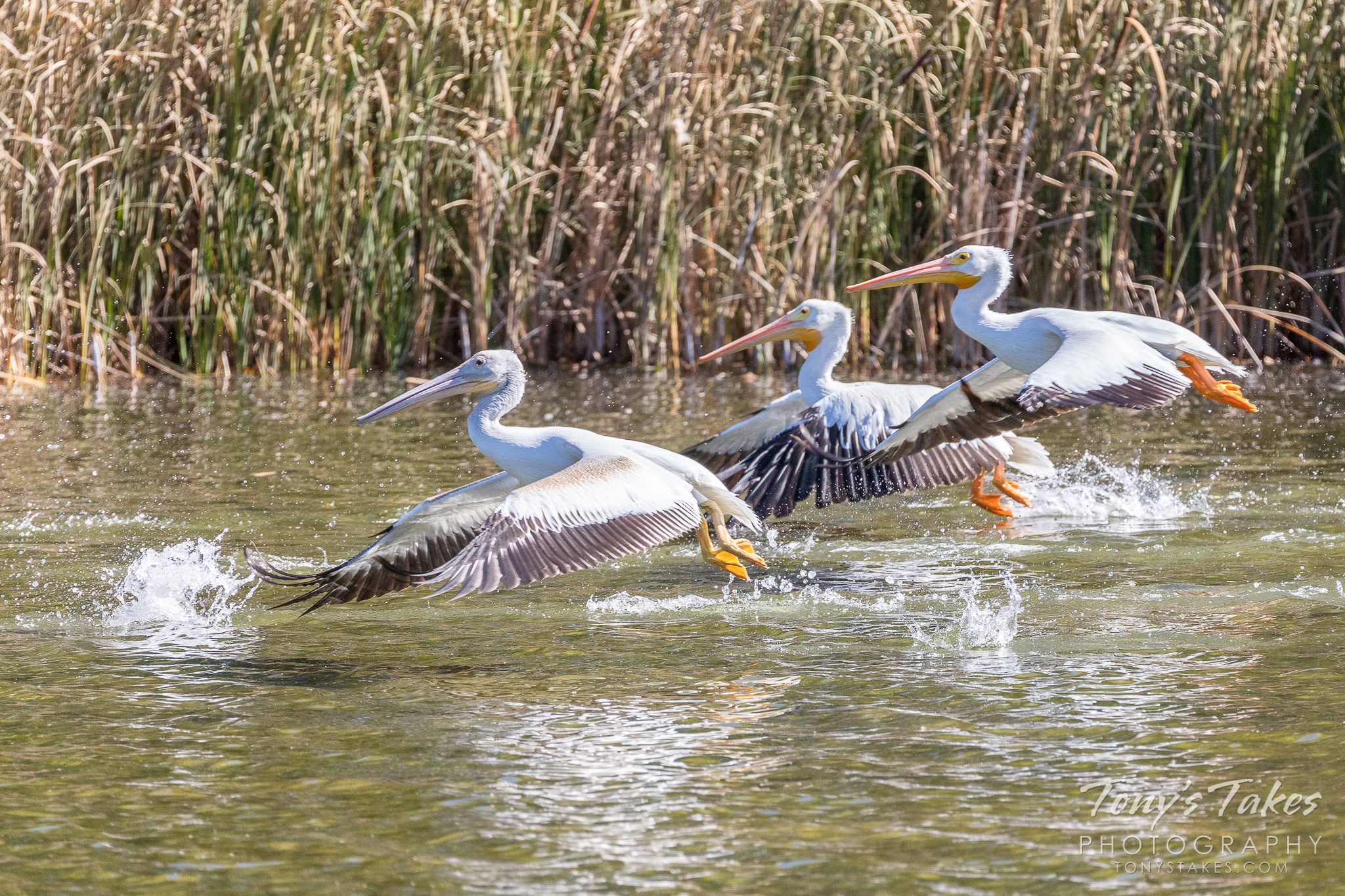 A trio of American White Pelicans take off from a pond in Adams County, Colorado. (© Tony's Takes)