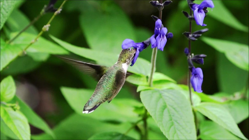 Hummingbird Slow Mo Clip 13 with music