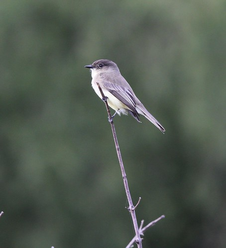 Northern Phoebe Ft Worth Nature center 10-18 | by johnd1964