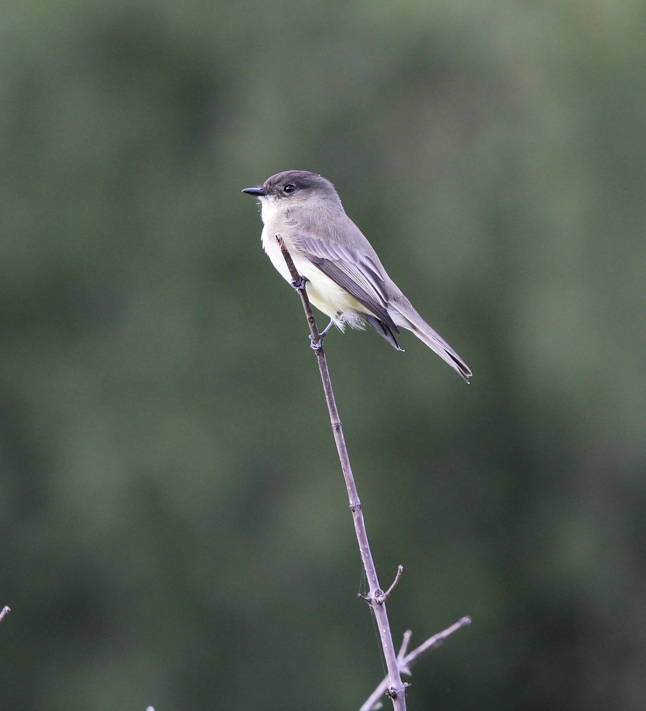 Northern Phoebe Ft Worth Nature center 10-18