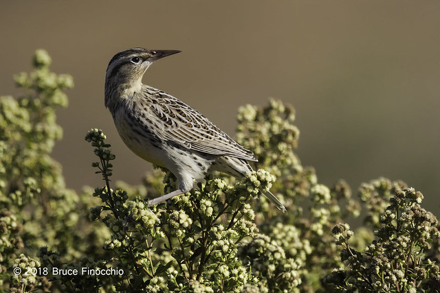 Western Meadowlark Looking Over Shoulder While Perched On Coyote Brush