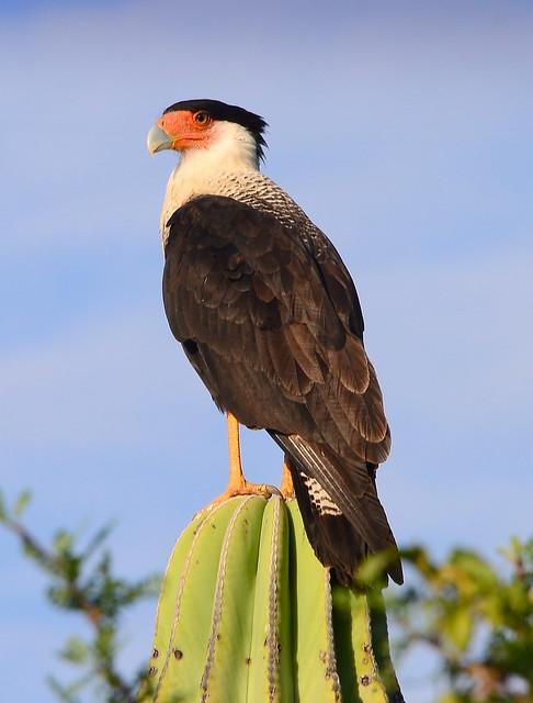Northern crested caracara (Caracara cheriway), Cabo Pulmo, Baja California Sur, Mexico