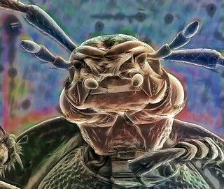 Golden beetle | by Gribkov_m
