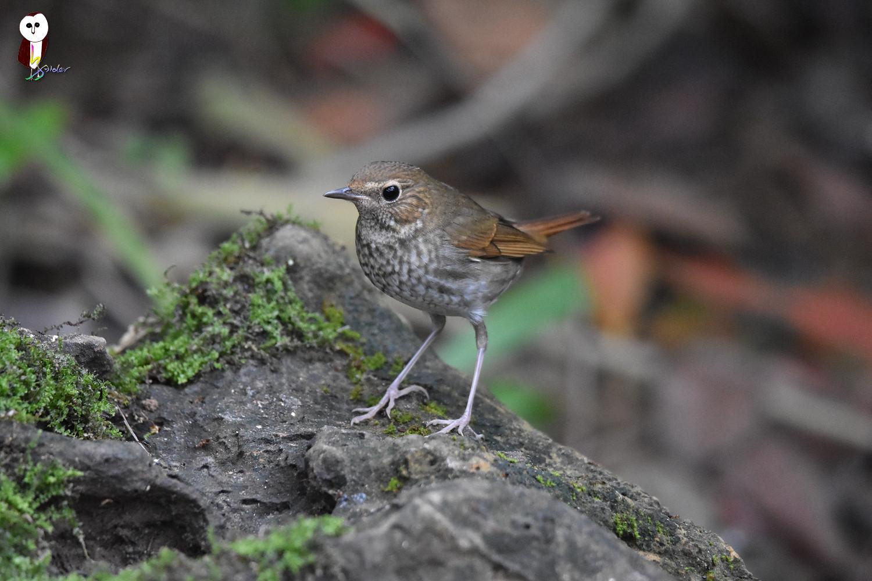 Rufous-tailed_Robin_4870