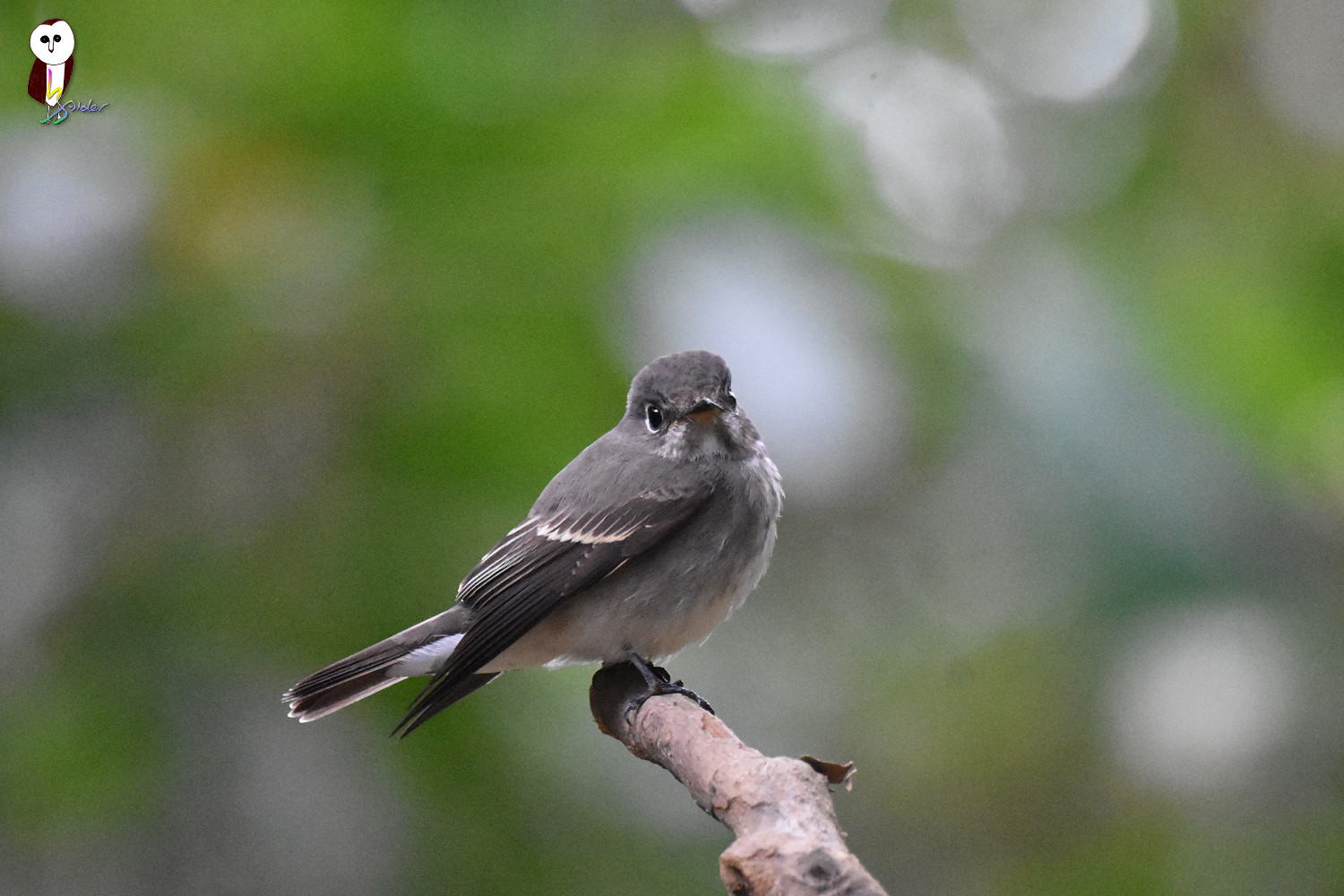 Dark-sided_Flycatcher_6010