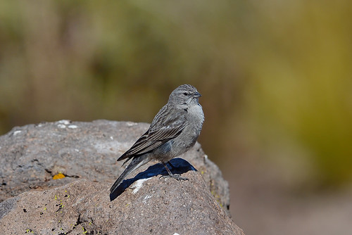 Пепельногрудый овсяночник, Geospizopsis plebejus plebejus, Ash-breasted Sierra-Finch   by Oleg Nomad