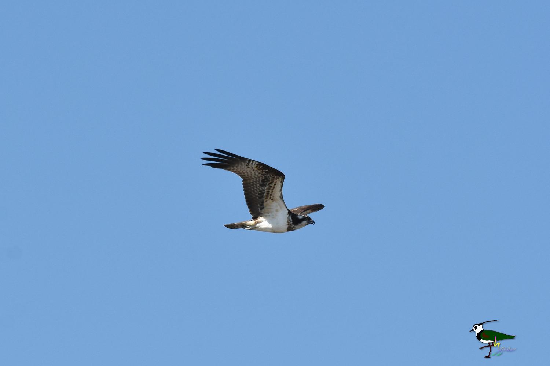 Osprey_0595