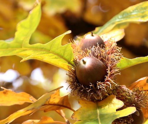 Burr Oak Nut