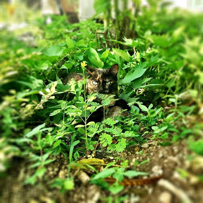 Honey in her new garden. Espiritu Santo.