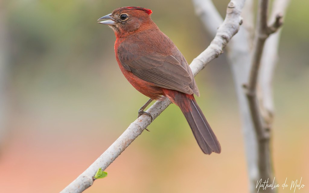tico-tico-rei (Coryphospingus cucullatus) - Red-crested Finch