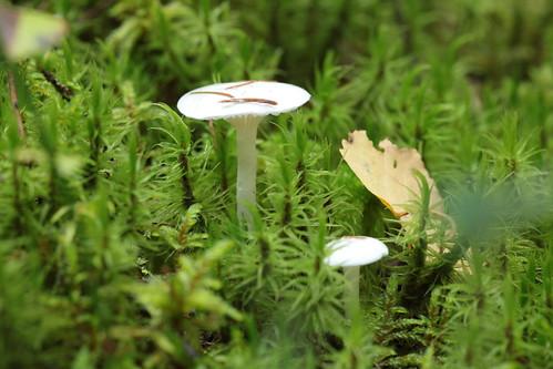 Hygrophorus piceae | by FremdeV