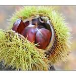 Chestnut trio! 🌰