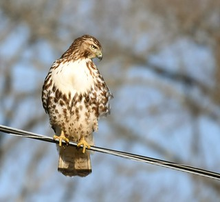 Red-tailed Hawk hunting | by angelagranchelli