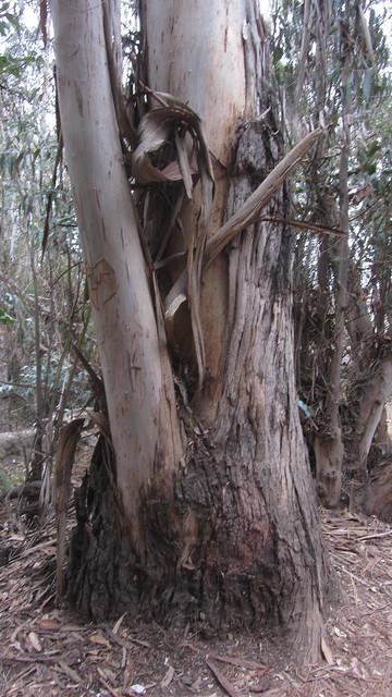 IMG_4841 Ellwood Sperling eucalyptus trees forest