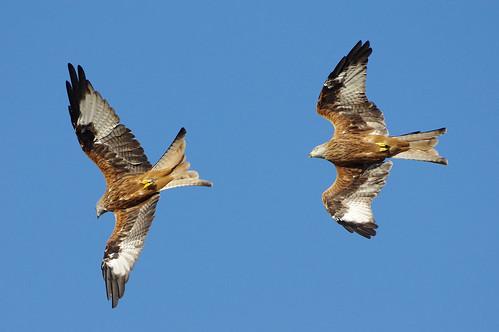 bird wild wildlife nature stilton cambridgeshire redkite milvusmilvus