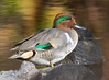 Green-winged Teal by vischerferry