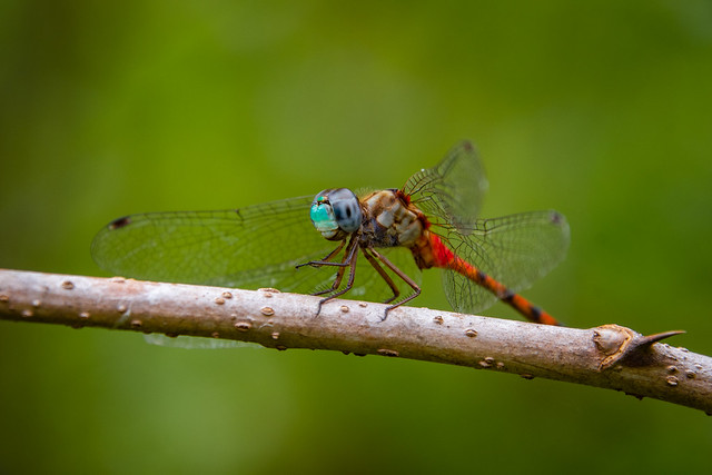 Blue-faced Meadowhawk Dragonfly