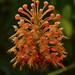 Platanthera ciliaris by Scott Wahlberg