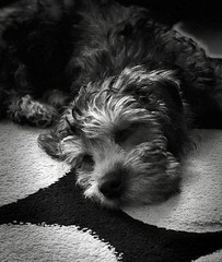 A new addition to home .Ralph the Dandie Dinmont