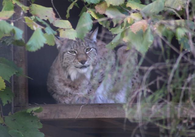 Lynx at Highland Wildlife Park