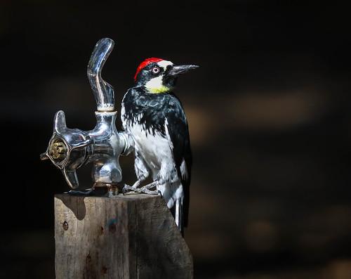 acornwoodpecker woodpecker trippetranchbirds topanga topangastatepark southerncaliforniabirds 80d canon80d canon camaraderie fountainmonkey 100400 birdwatching birdwatchinglosangeles wesen vogel oiseau avem manu chim pekabo90401 topangacanyon canyonmonkey melanerpesformicivorus carpinterobellotero picglandivore lightroom