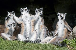 A group of lemurs | by Tambako the Jaguar