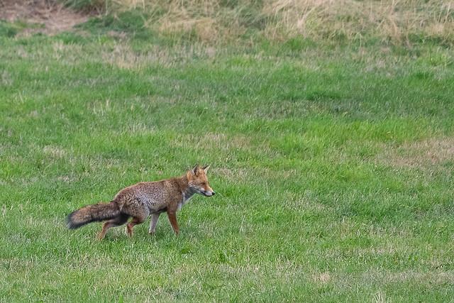 Maître renard