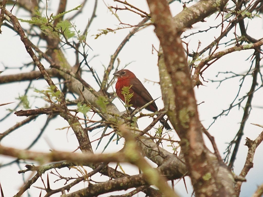 Red Pileated Finch