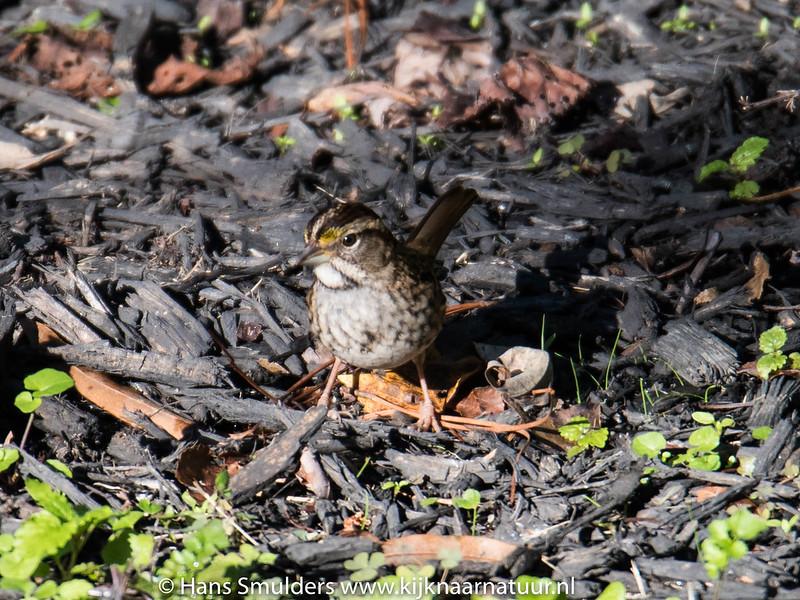 Song Sparrow-818_6623