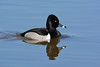 Ring-necked Duck by NP Rothman